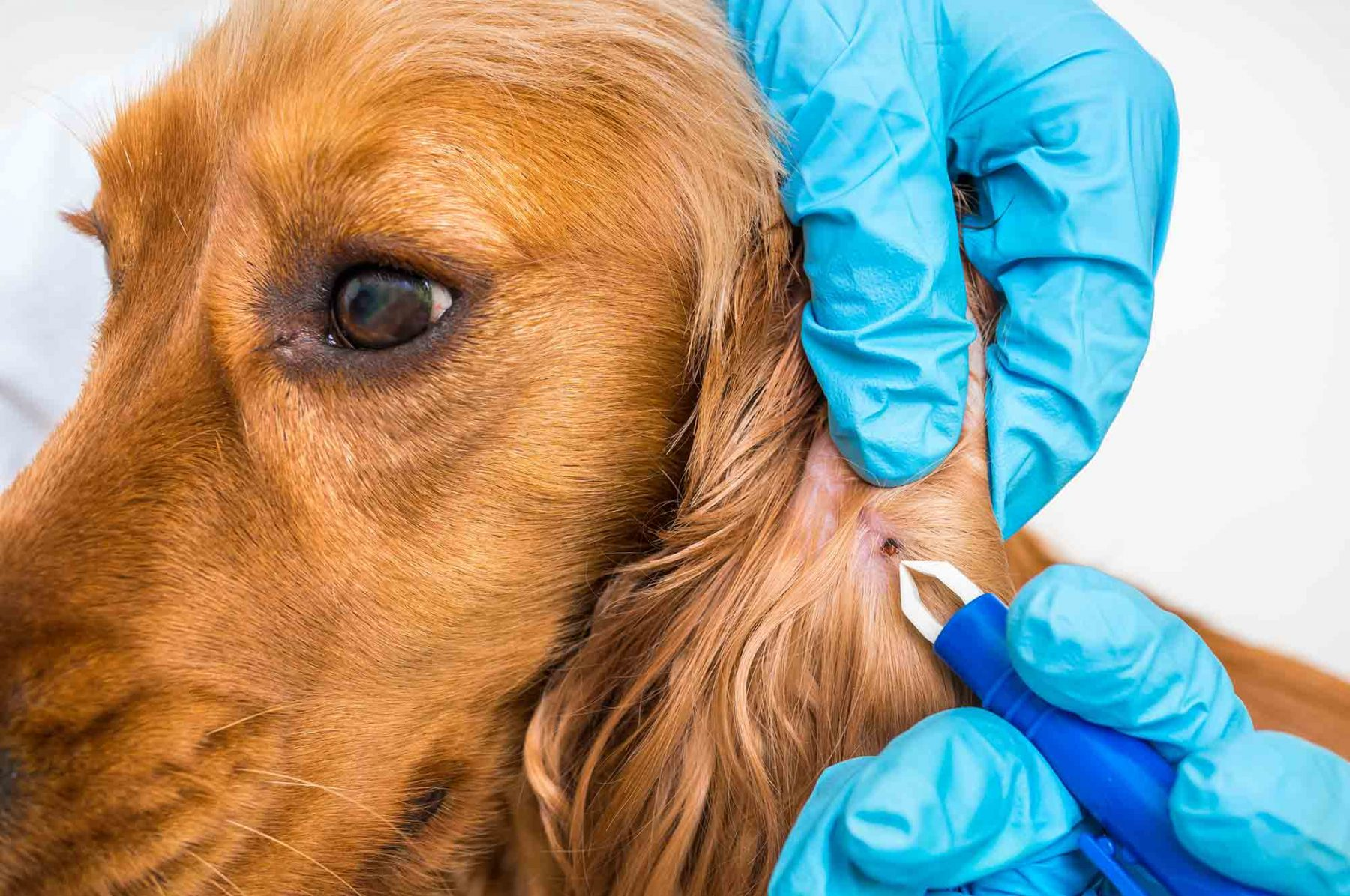 Close up of a dog's ear being examined